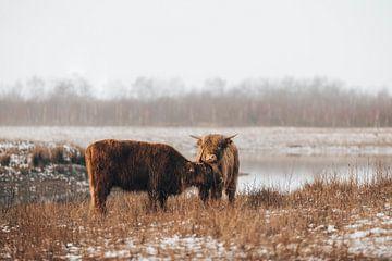 Schotse Hooglanders in winters landschap van Lotte van Alderen