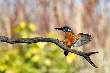 Landende Ijsvogel met visje van Gerjo Horsman