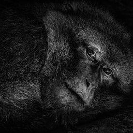 The tired monkey van Vincent Willems