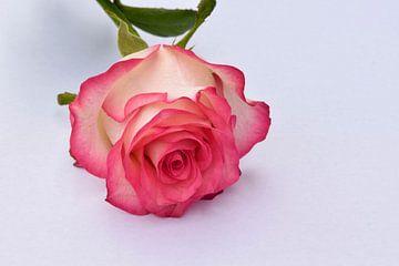 Nahaufnahme einer Rose in der Farbe rosa-weiß von Robin Verhoef