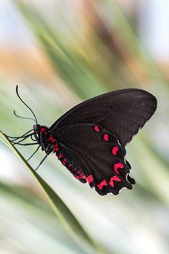 Vlinder (Parides photinus) met pasteltinten op achtergrond von Kristel van de Laar