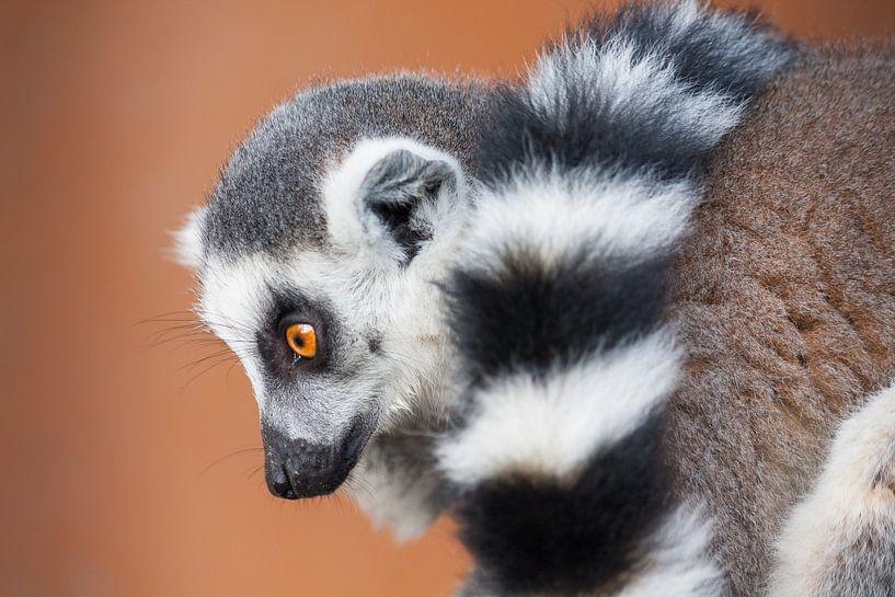 Lemuroidea van Steve Van Hoyweghen
