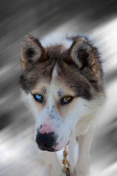 Husky. Wout Kok One2expose van Wout Kok