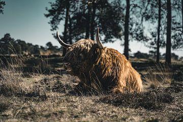 Schotse Hooglander van Colin van Wijk