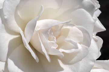 Close up Witte roos met zwarte achtergrond van Dennis Carette