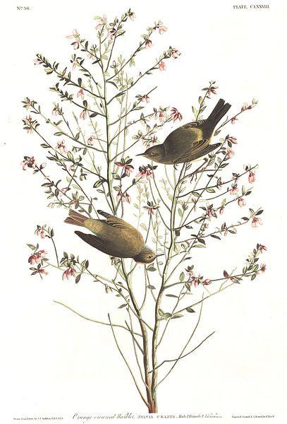Groene Zanger van Birds of America