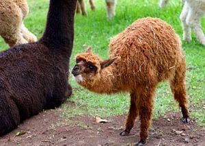 Baby-Alpaka mit seiner Mutter.