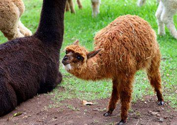 Baby-Alpaka mit seiner Mutter. von Inge Hogenbijl
