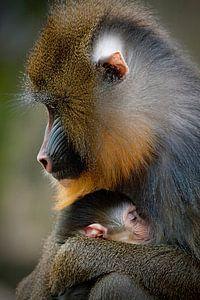 Mandril moeder beschermt haar jong.