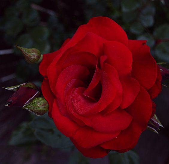 Roos in de schaduw