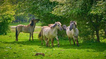 Konik-Pferde laufen in der Horsterwold von Jenco van Zalk