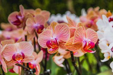 Orchidee von Stedom Fotografie