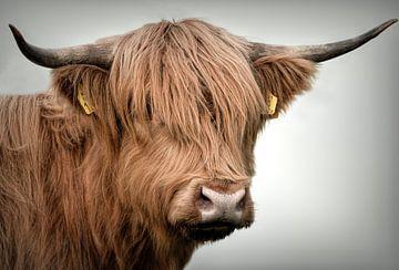 Schotse Hooglanders: Portret Schotse hooglander koe van Marjolein van Middelkoop