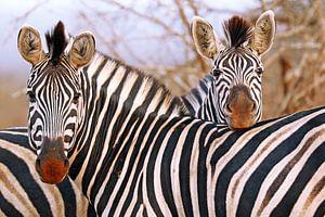 Zebra-Freundschaft in Südafrika