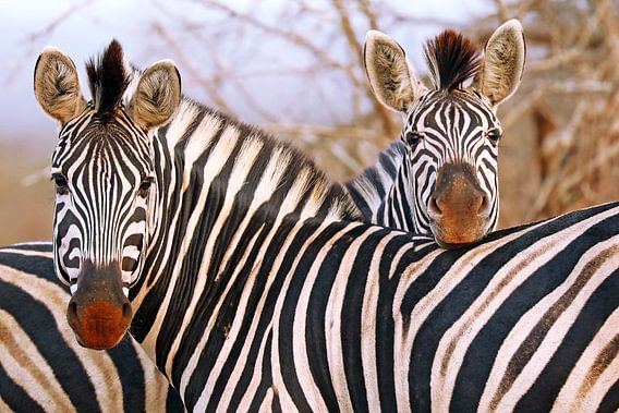 Zebra friendship in South Africa