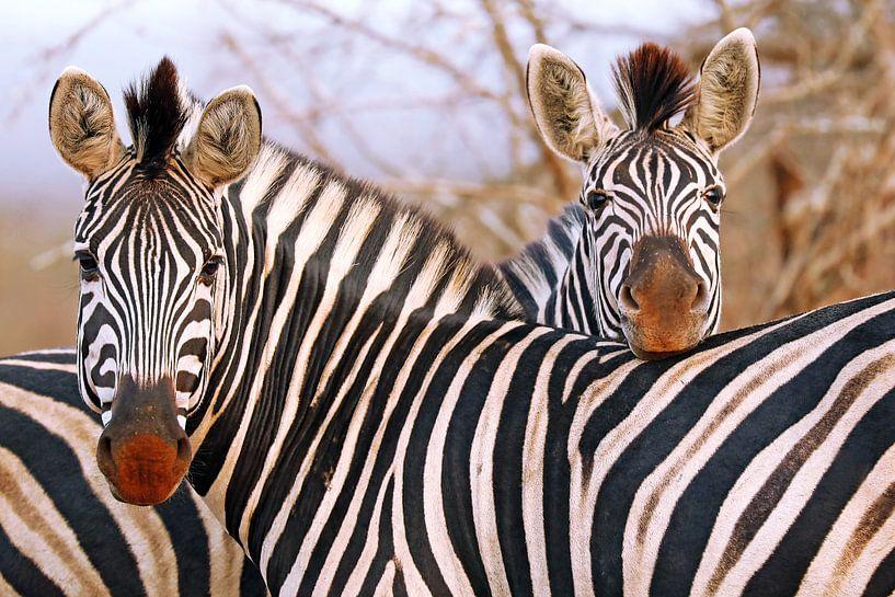 Zebra friendship in South Africa van W. Woyke