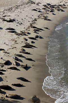 Zeehonden op het strand van