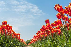 Noordwijkse tulpenvelden van Photologic  Fotografie