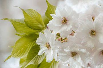 Zachte lentebloesem van Tanja de Boer