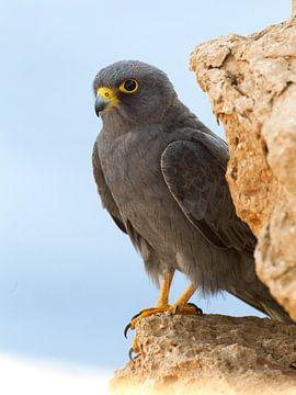 Wüstenfalke sitzt auf einem Felsen