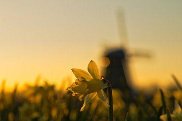 Narcis van Peter Heins