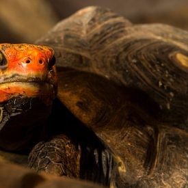 Kolenbranderschildpad - chelonoidis carbonaria van Rob Smit