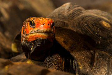 Kolenbranderschildpad - chelonoidis carbonaria von Rob Smit