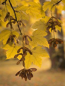 Esdoorn in herfstkleuren van Marianne Twijnstra-Gerrits
