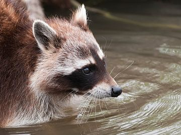 Waschbär : Tierpark Blijdorp von Loek Lobel