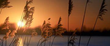 Riet bij zonsondergang van Jonas Weinitschke