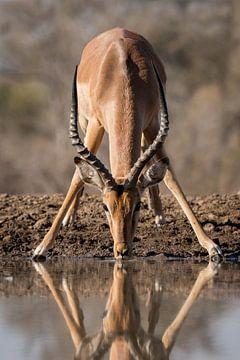 Drinkende impala van Ingrid Sanders