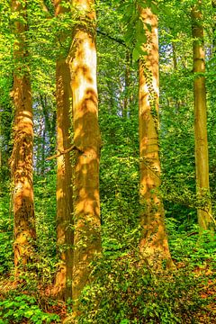 Beukenstammen met bladeren in het bos verlicht door de zon van Dieter Walther