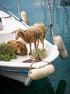 Schapen op het voordek van een bootje van Luc de Zeeuw