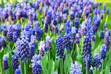 Feld von Glockenblumen mit grünen Blättern in Blumenfeld von Ben Schonewille