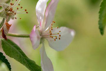 Apfelblüte von Thomas Heitz