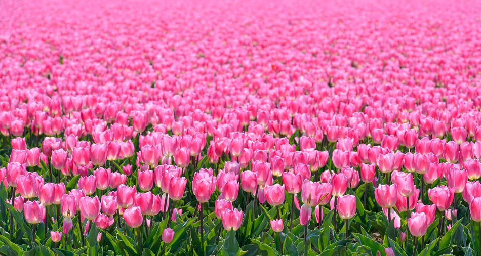 Roze Tulpen van Sjoerd van der Wal