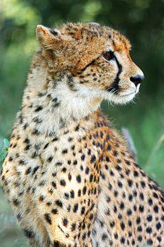 Cheetah van Manuel Schulz