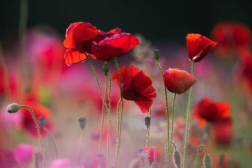 Red flower klaproos van Jeannette Braamskamp