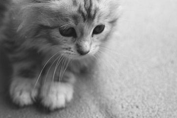Schattige Maine Coon Kitten van