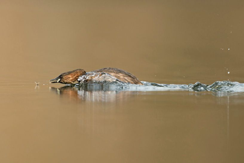 Little Grebe ( Tachybaptus ruficollis ) hunting for an insect van wunderbare Erde