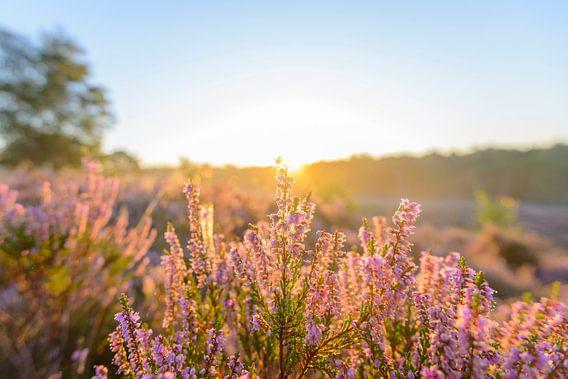 Bloeinde heide in het vroege zonlicht