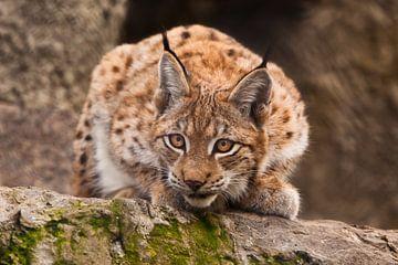 un beau chat lynx est assis sur une pierre et regarde attentivement les exigeants avec des yeux clai sur Michael Semenov