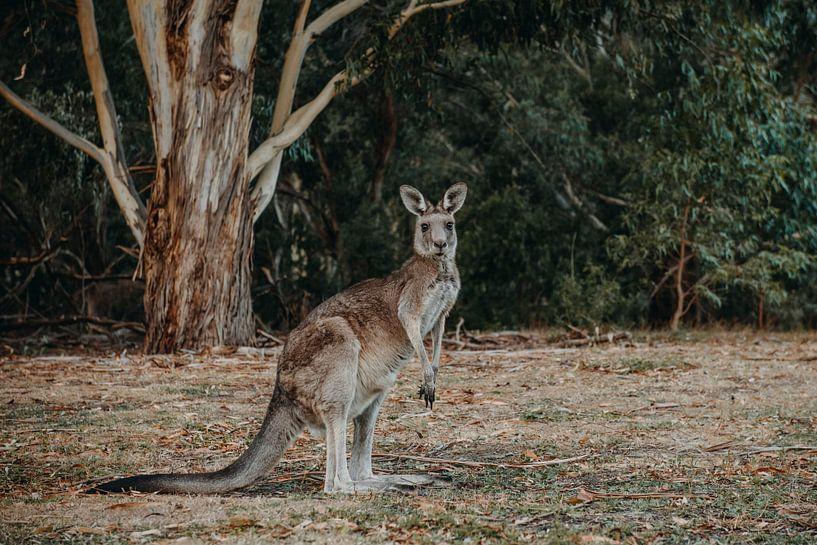 Känguru von Marscha van Druuten