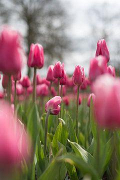 Rosa Tulpen in einem Blumenbeet von Lisette van Gameren