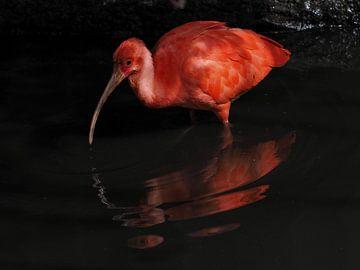 Roter Ibis : Tierpark Blijdorp von Loek Lobel