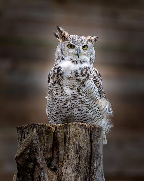 Great Horned owl van Costas Ganasos