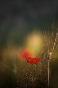 Poppys von Marijke de Haze