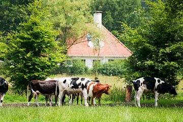 Koeien in het bos bij Lage Vuursche van Ivonne Wierink
