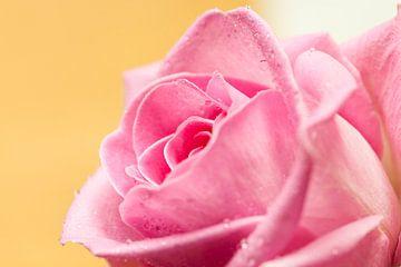 Rose von André Dorst