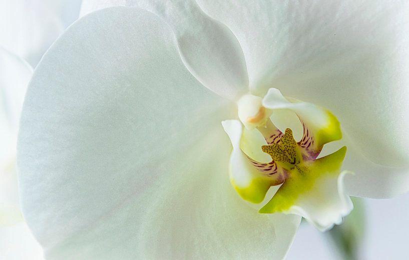 Detail van een witte orchidee, close up van Rietje Bulthuis